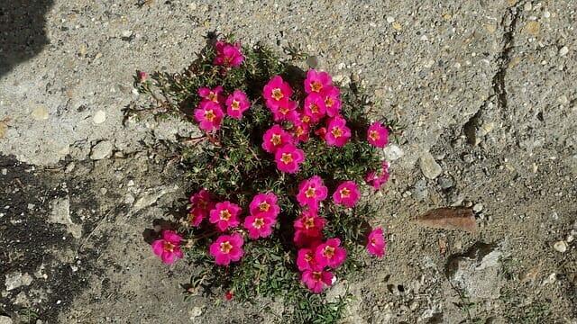 Flowers blooming through sidewalk crack.